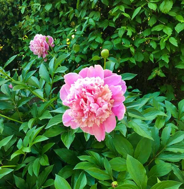 pink peony on bush in full bloom